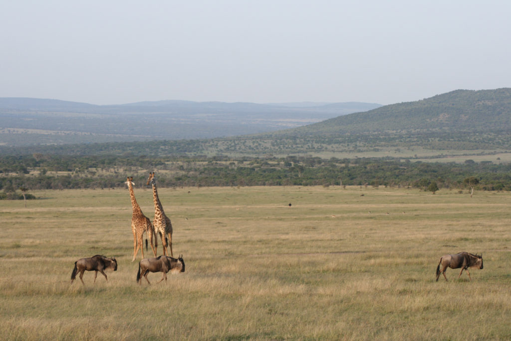 Two giraffes and three wildebeests enjoying the sunrise in the Mara plains. In the background some soft hills are covered with bushes and trees.