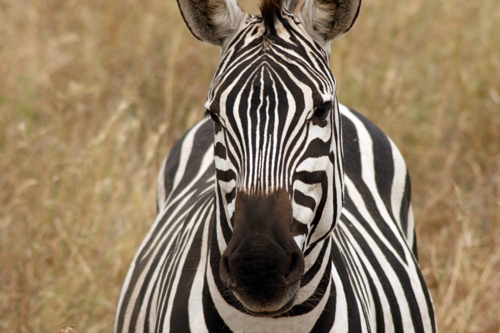 A Zebra standing in the savannah and looking into the camera.