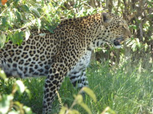 Leopard on the hunt 3