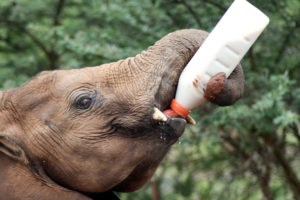 A baby calf is drinking its bottle of milk. With the help of its trunk it doesn't even need a human to assist with drinking.