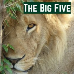 The Big Five - learn about the most famous animals of Africa