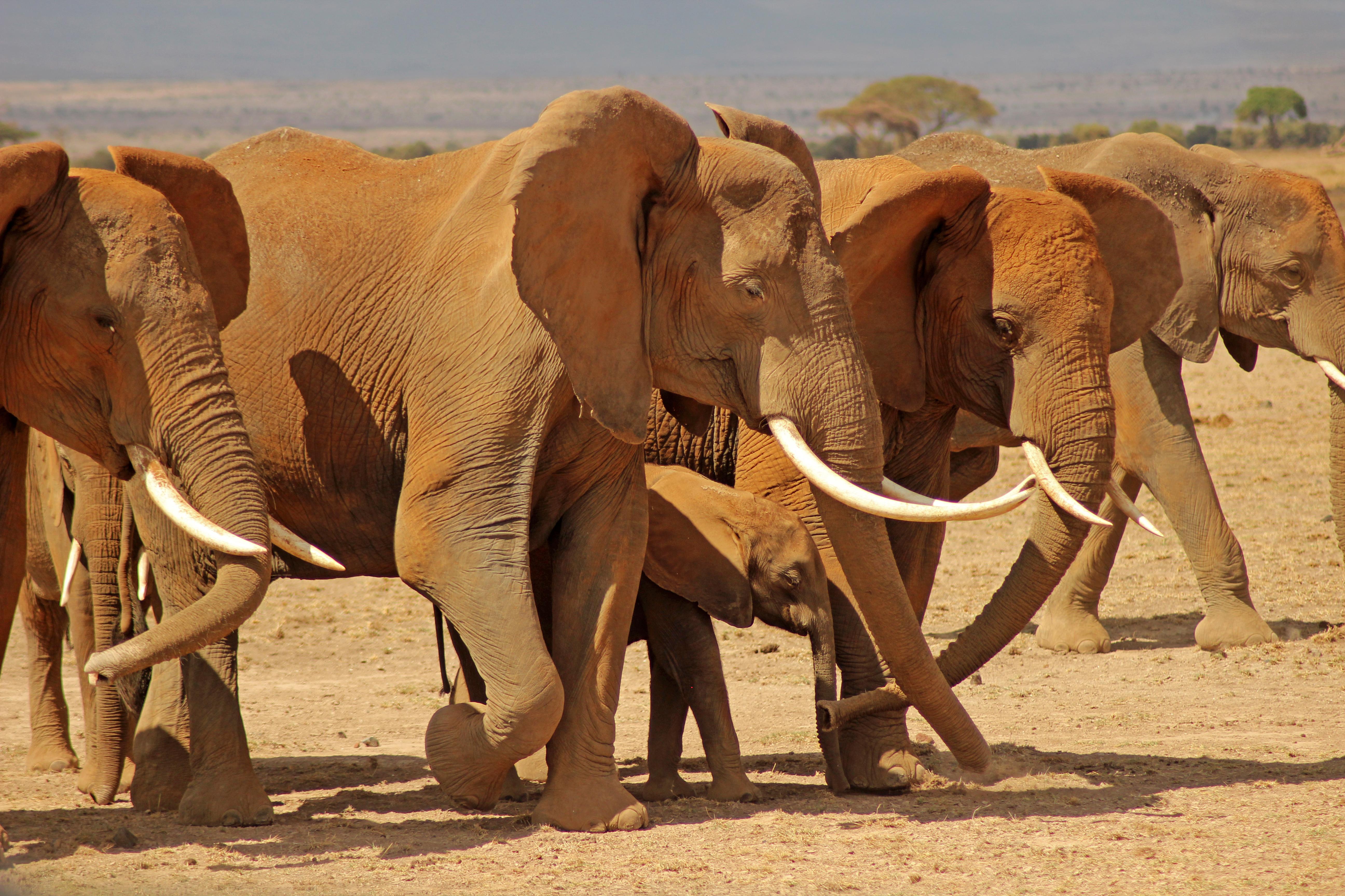 Amboseli Elephants1