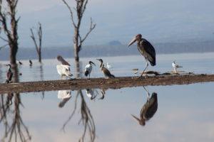 Birds in Nakuru