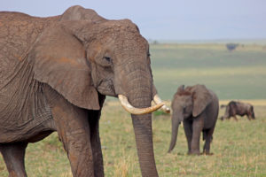 Elephant Calf and Wilderbeest