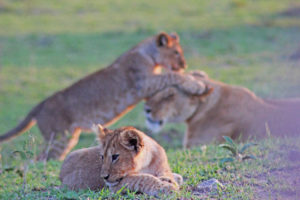 Lion Cub in the foreground