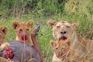 Lion cub with bloody mouth