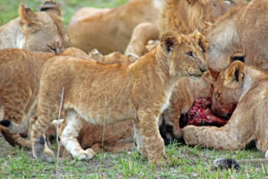 Lion cub with hungry familiy