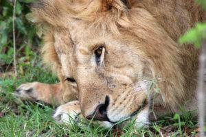 Lion thinking