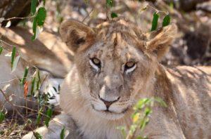 Lion by Emma Nolan