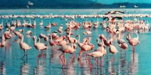 Many pink Flamingos fishing in the Lake Nakuru in Kenyas Rift Valley. Two Flamingos are flying to the right.
