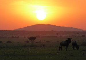Two Wildebeests are grazing in front of the setting sun in the Maasai Mara. The sky is orange and red, the Wildebeests appear dark against the light. A Gazelle is grazing a bit far away from the two.